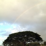 Monkeypod tree with a rainbow overhead